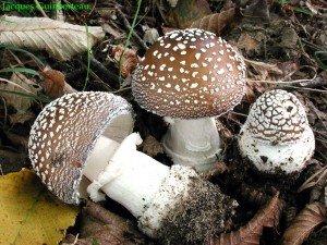 Attention les champignons se révoltes! dans Article simple et interessant amanite-panthere1-300x225